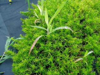 植え穴からの雑草