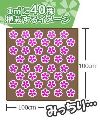 芝桜を1㎡に40株植えた図