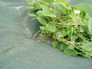 防草シート重ね部雑草