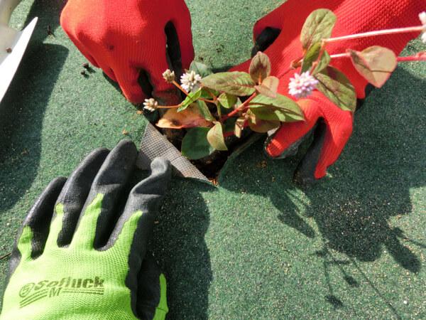 5苗を植える