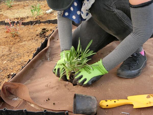 7ガザニアの植栽
