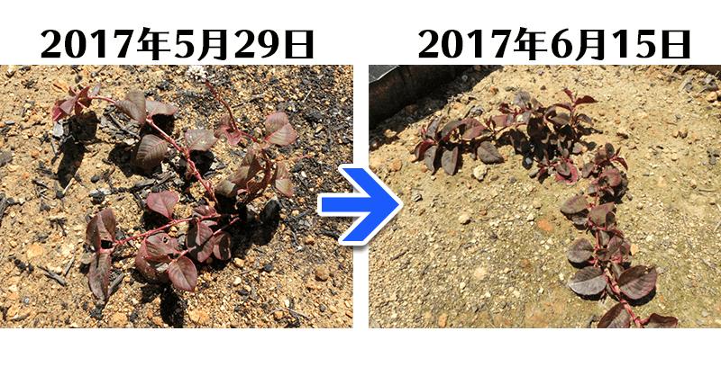 170615グリーンフィルC+ヒメツルソバ