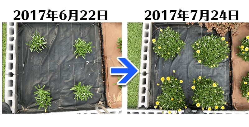ガザニア+らくらく草なしシート