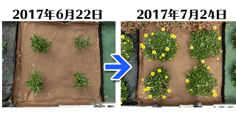 ガザニア+土にかえる植栽シート