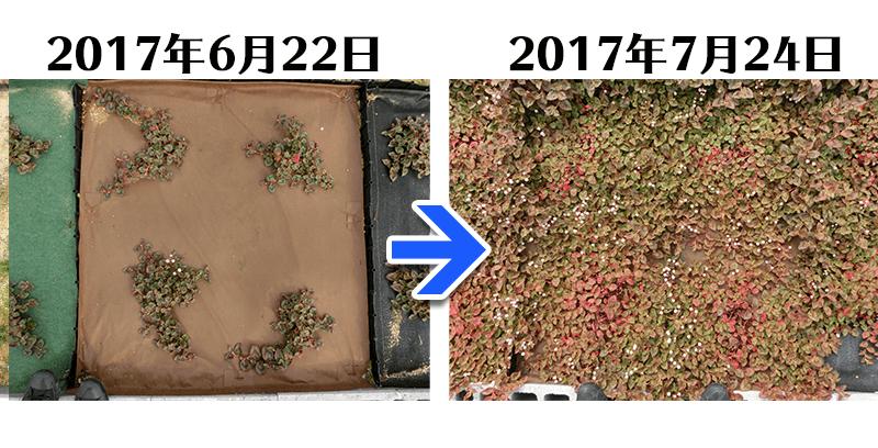 ヒメツルソバ+土にかえる植栽シート