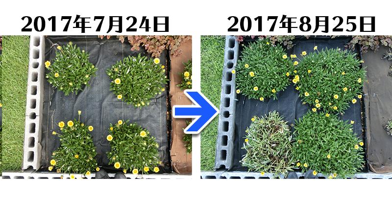 170825_ガザニア+らくらく草なしシート比較