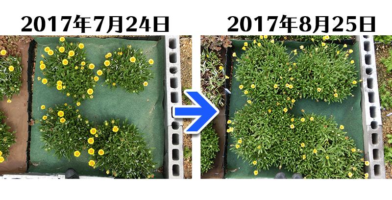 170825_ガザニア+とことん草なしシート比較