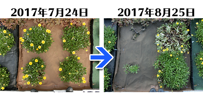 170825_ガザニア+土にかえる植栽専用草なしシート比較