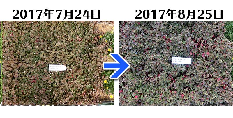 170825_ヒメツルソバ+グリーンフィルC比較
