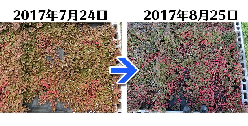 170825_ヒメツルソバ+らくらく草なしシート比較