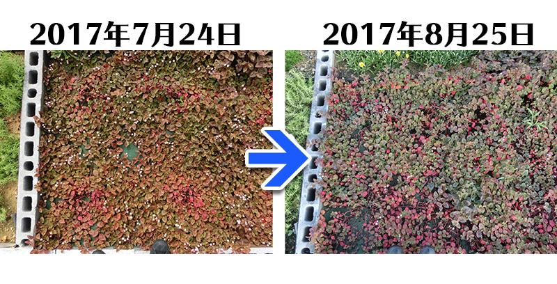 170825_ヒメツルソバ+とことん草なしシート比較