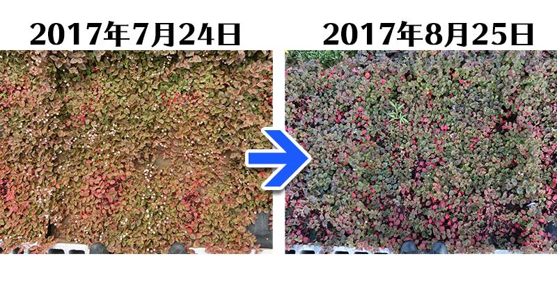 170825_ヒメツルソバ+土にかえる植栽専用草なしシート比較