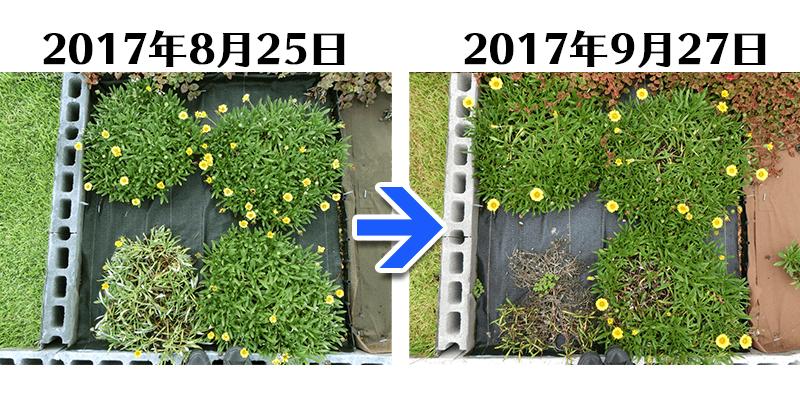 170927ガザニア+らくらく草なしシート比較