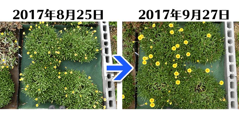 170927ガザニア+とことん草なしシート比較