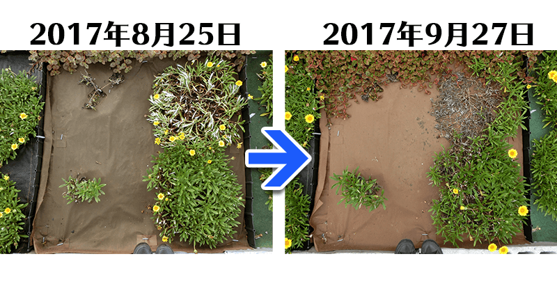 170927ガザニア+土にかえる植栽専用シート比較
