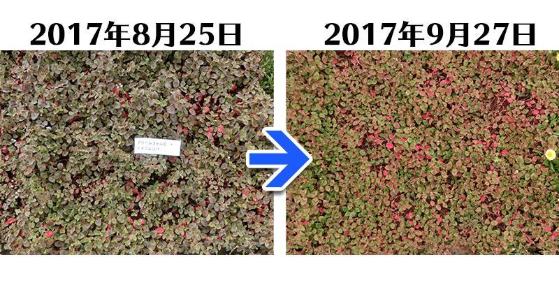 170927ヒメツルソバ+グリーンフィルC比較