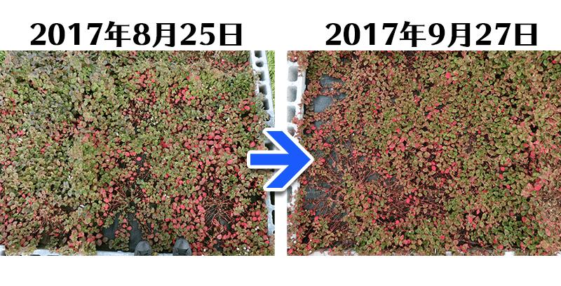 170927ヒメツルソバ+らくらく草なしシート比較