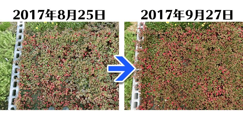 170927ヒメツルソバ+とことん草なしシート比較