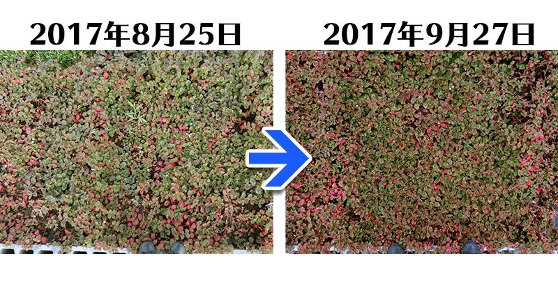 170927ヒメツルソバ+土にかえる植栽専用草なしシート比較