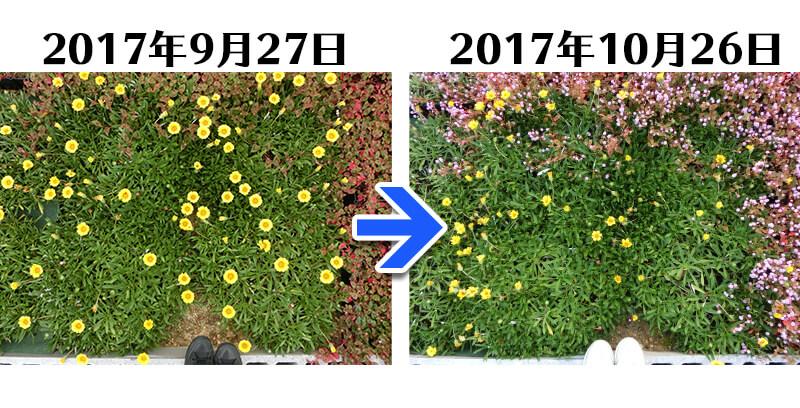171026_ガザニア比較