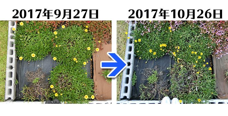 171026_171026_ガザニア+らくらく草なしシート比較