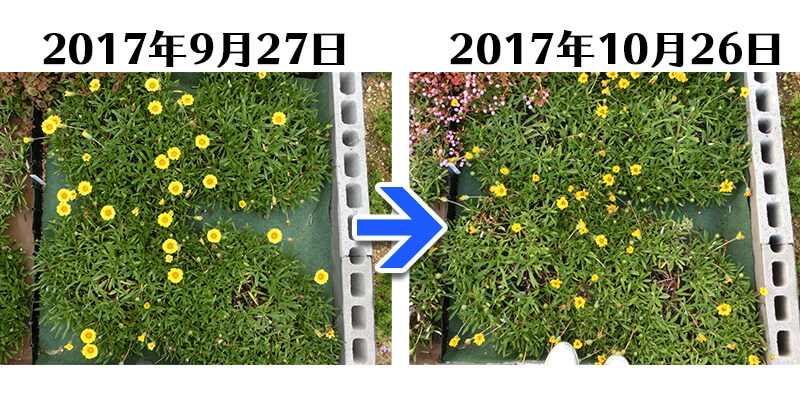 171026_171026_171026_ガザニア+とことん草なしシート比較