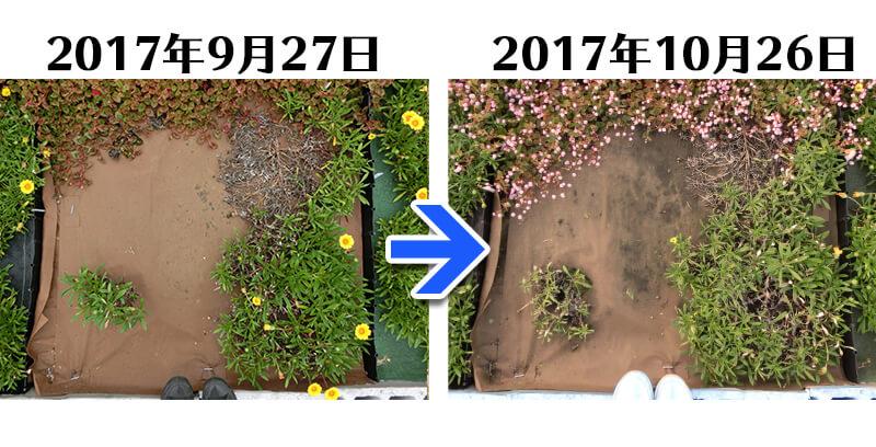 171026_171026_171026_171026_ガザニア+土にかえる植栽専用草なしシート比較