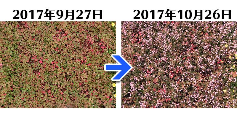 171026_ヒメツルソバ+GFC比較