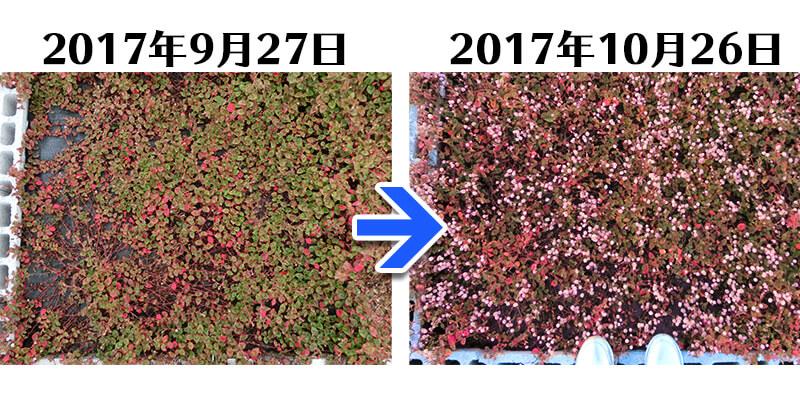 171026_ヒメツルソバ+らくらく草なしシート比較