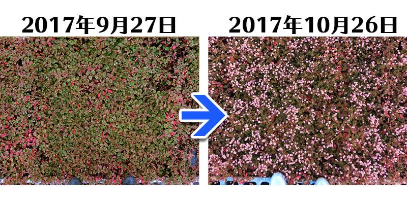 171026_ヒメツルソバ+土にかえる植栽専用草なしシート比較