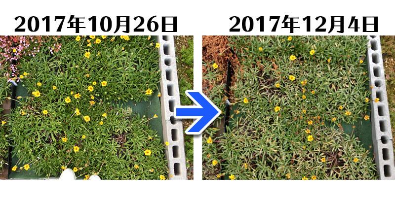 171204_ガザニア+とことん草なしシート比較