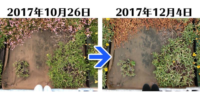 171204_ガザニア+土にかえる植栽専用草なしシート比較