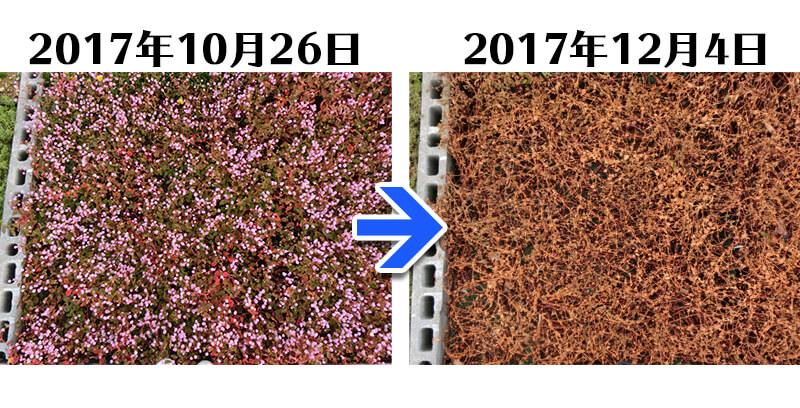 171204_ヒメツルソバ+とことん草なしシート比較