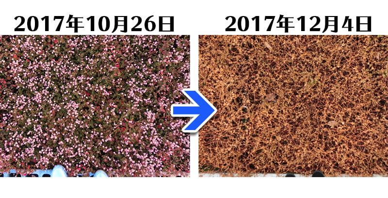 171204_ヒメツルソバ+土にかえる植栽専用草なしシート比較