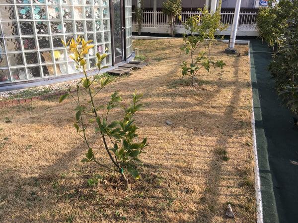 残すレモンの木_人工芝とマルチの施工事例