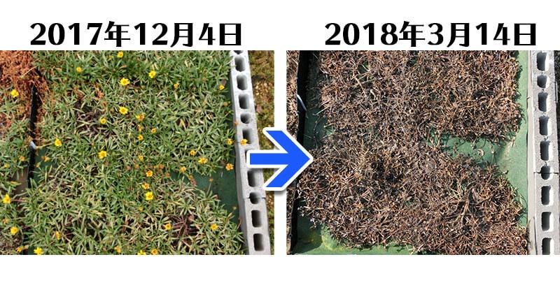 180314_ガザニア+とことん草なしシート比較