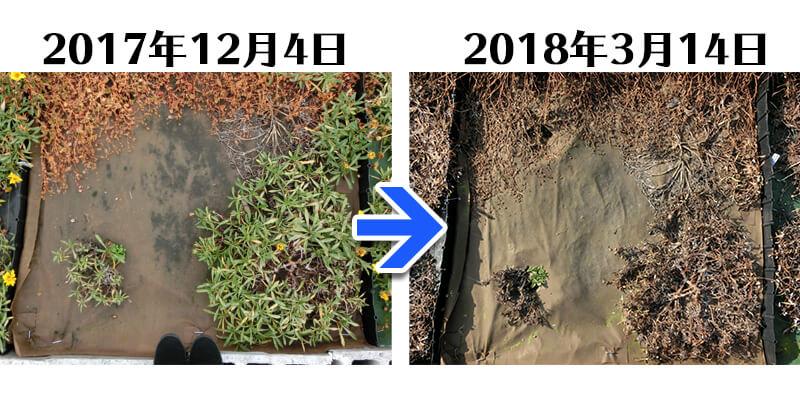 180314_ガザニア+土にかえる植栽専用草なしシート比較