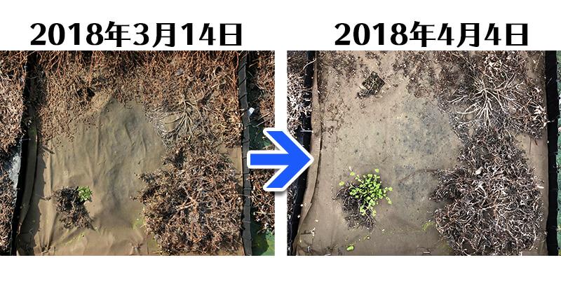 180404_ガザニア+土にかえる植栽専用草なしシート比較