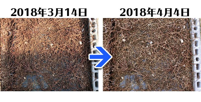 180404_ヒメツルソバ+らくらく草なしシート比較