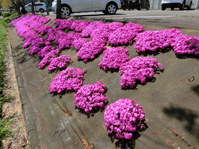 芝桜の開花