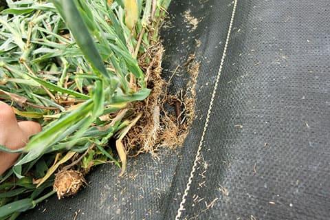 雑草が防草シートピン穴から出てきた様子2