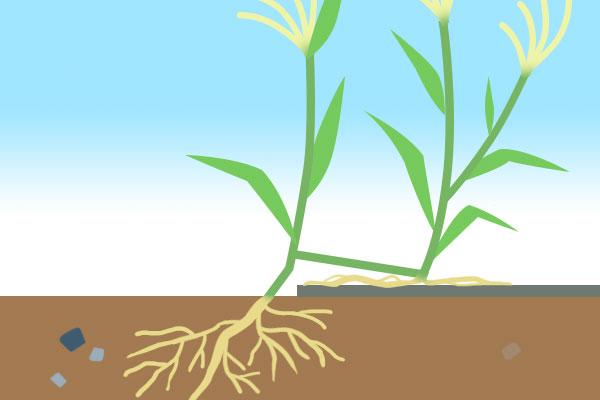 成長した節々で根をおろす雑草