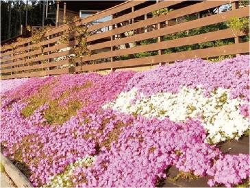 防草シートに花を植える