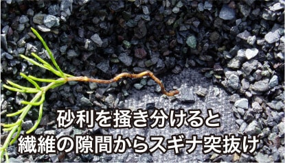 砂利を掻き分けると繊維の隙間からスギナ突抜け