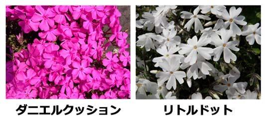 芝桜の種類